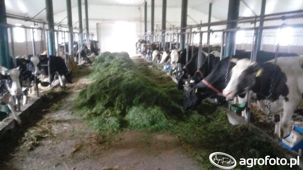 Zielonka dla krów