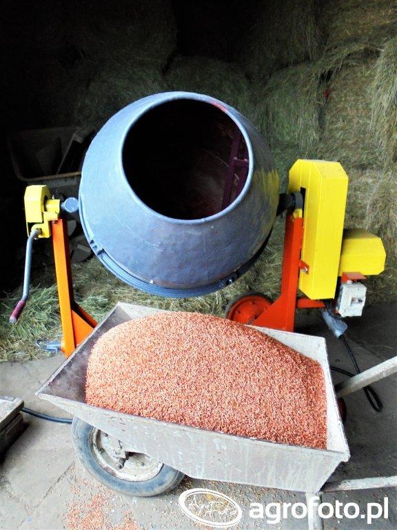 Zaprawianie pszenżyta
