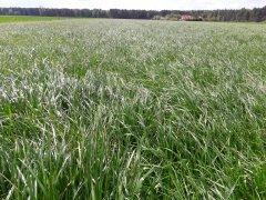 Trawa Barenbrug BG-7 MILKWAY WATER NUTRIFIBRE - pokosy czas zacząć!