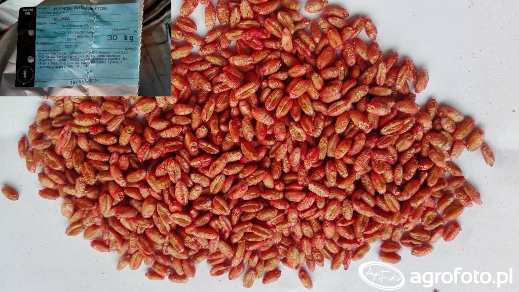 Pszenica ozima belissa - nasiona