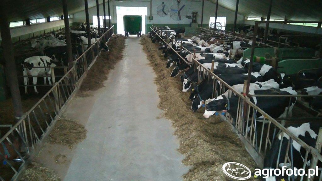 Krowy... widok z góry