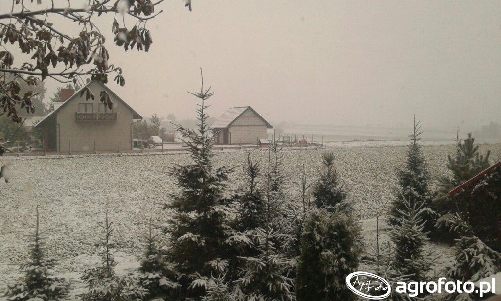 Rzepak w śniegu