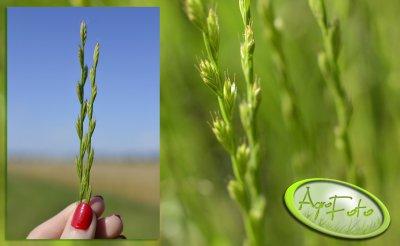 Życica wielokwiatowa vel. rajgras włoski (Lolium multiflorum)