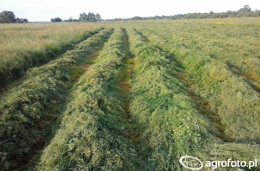 Skoszona trawa