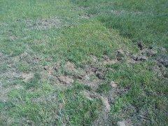 Trawa niszczone przez dziki