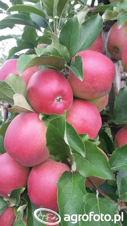 Jabłko Ligol