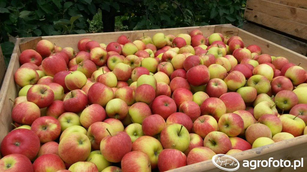Jabłko w skrzyni Rubin