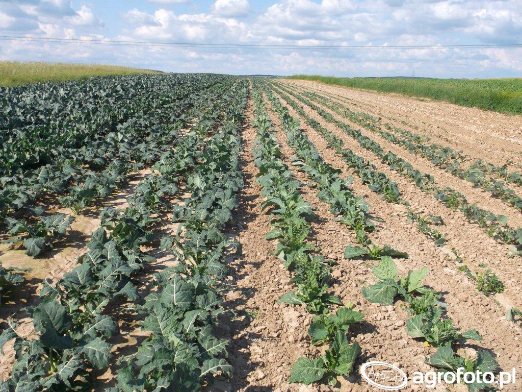 Kalafiory i brokuły