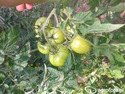 Pomidory gruntowe.