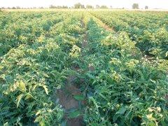 Pomidory Rio Brasil