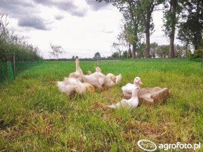 Gęsi&kaczki