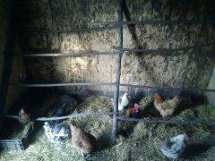 Kury w kurniku