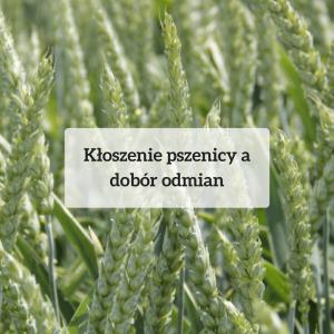 Kłoszenie pszenicy a dobór odmian
