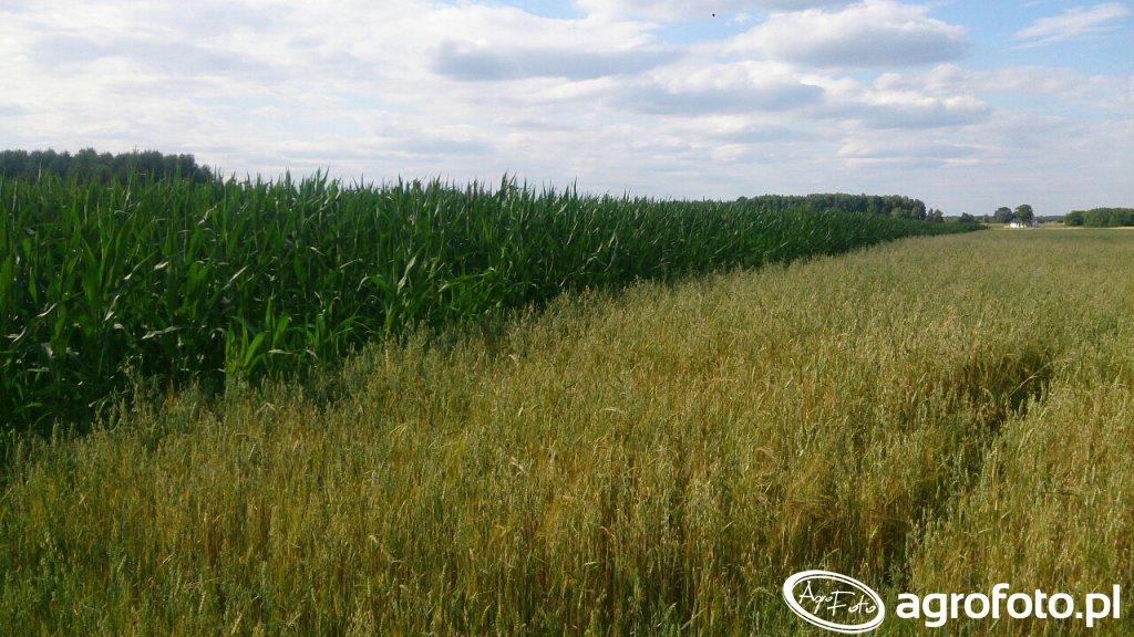 Kukurydza z Kws