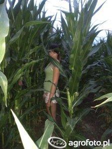Kukurydza Monsanto DKC