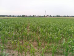 Kukurydza na kiszonkę