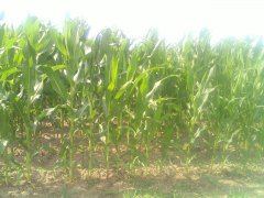 Kukurydza na ziarno 2015