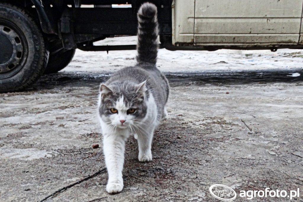 Kocica