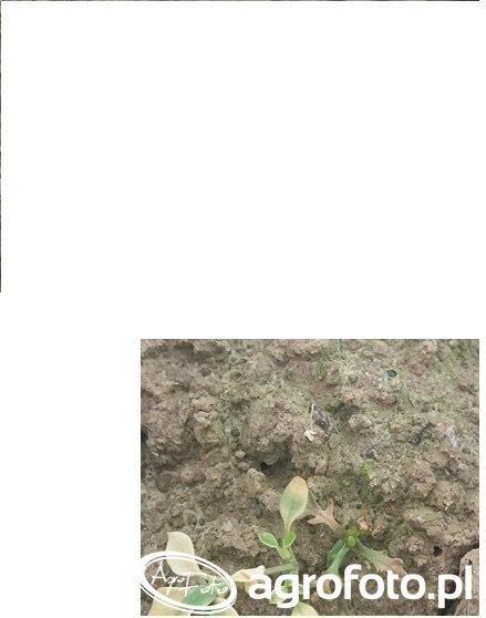 Chwast w pszenicy 6 dni po oprysku