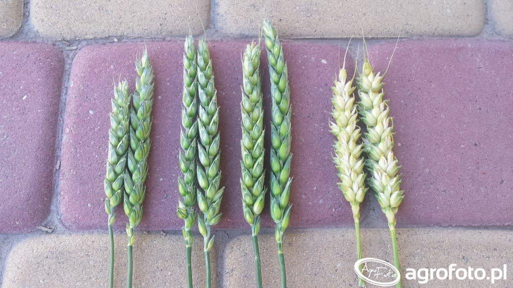 Porównanie kłosów pszenicy
