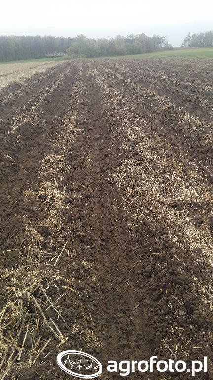 Kukurydza  posiana w mulcz