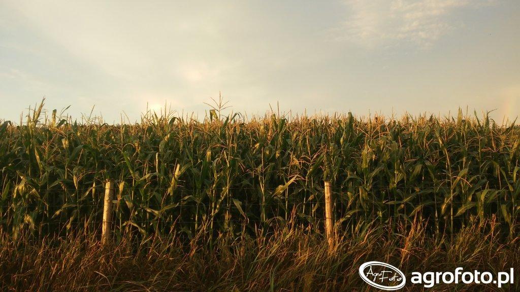 Kukurydza Rosomak i Konkurent