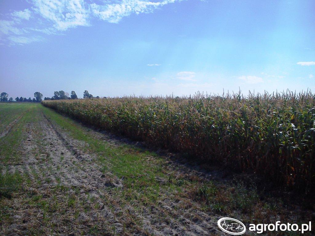 Kukurydza Ułan