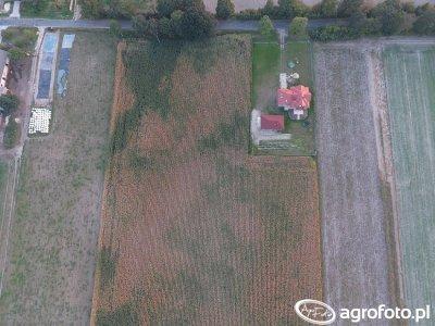 Kukurydza - mozaika glebowa