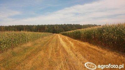 Kukurydza Rosomak w ogrodzeniu