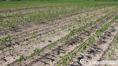 Słaba kukurydza
