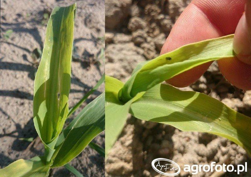 Nalot Ploniarki Zbożówki w kukurydzy