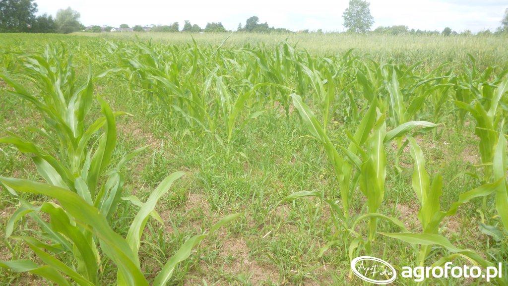 Pole z Kukurydzą