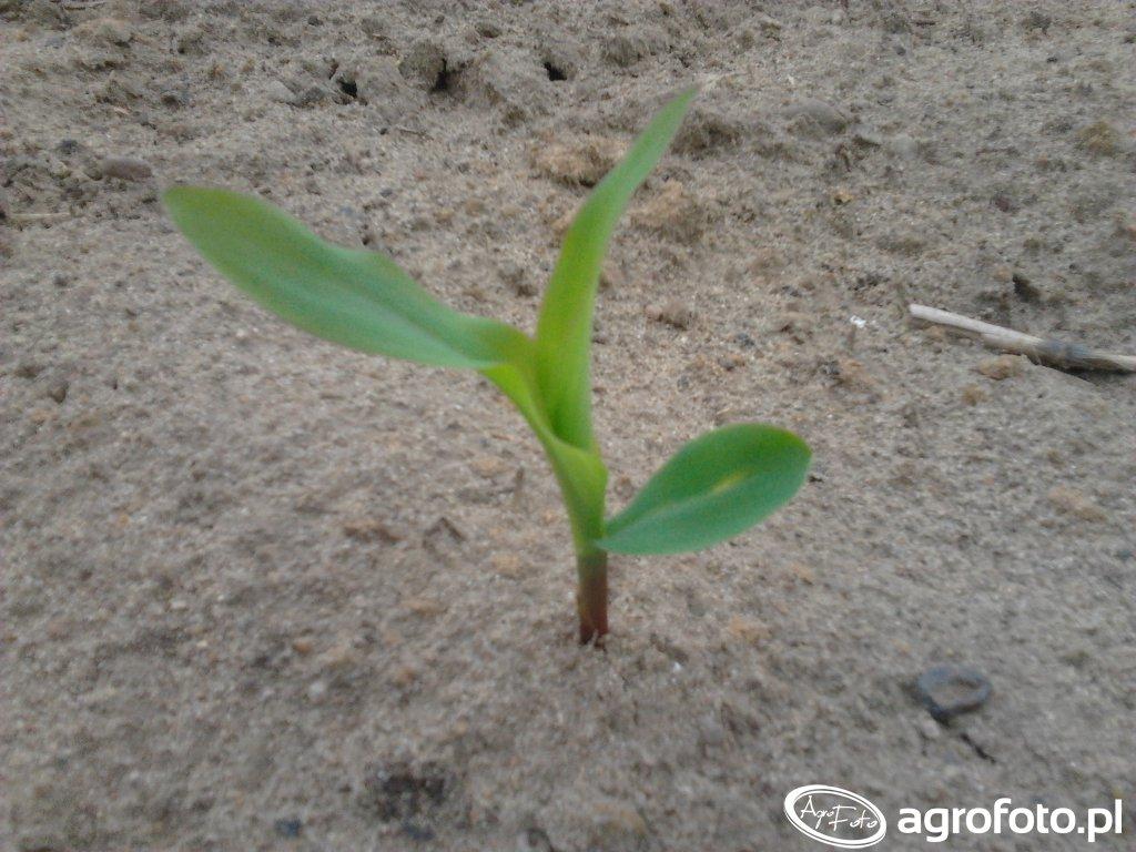 Roślinka Kukurydzy