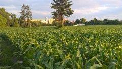 Kukurydza FarmSaat AG