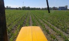Kukurydza odmiana Blask