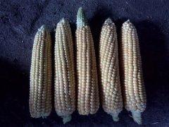 Porównanie kolb różnych odmian kukurydzy