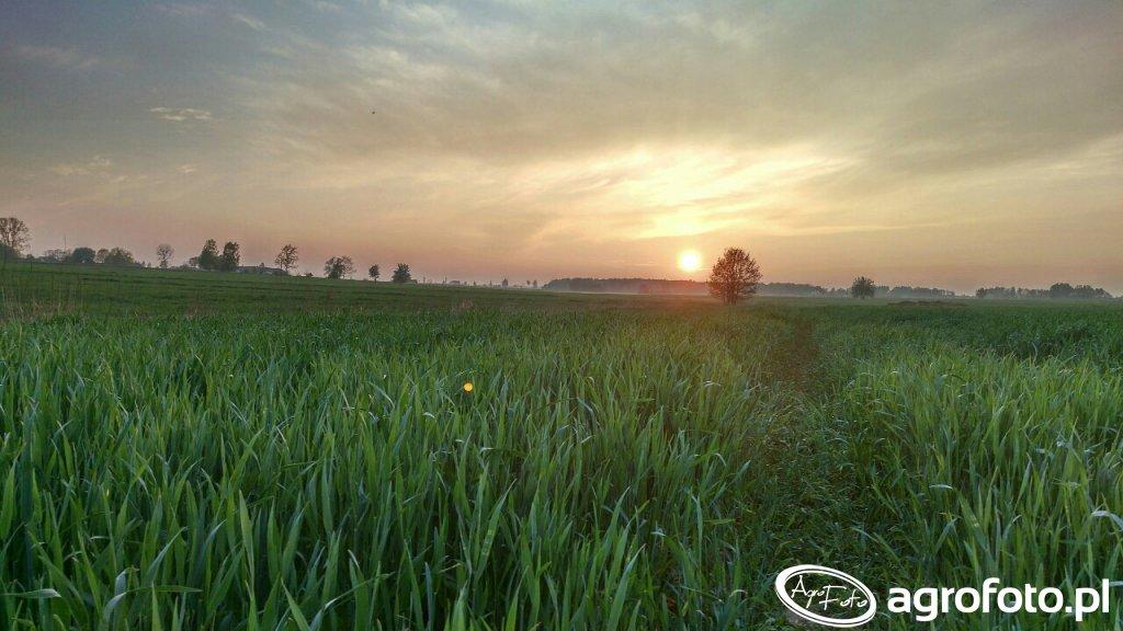 Żyto i zachód słońca