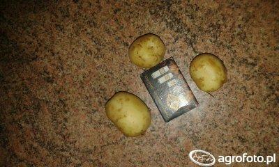 Ziemniaki Colomba