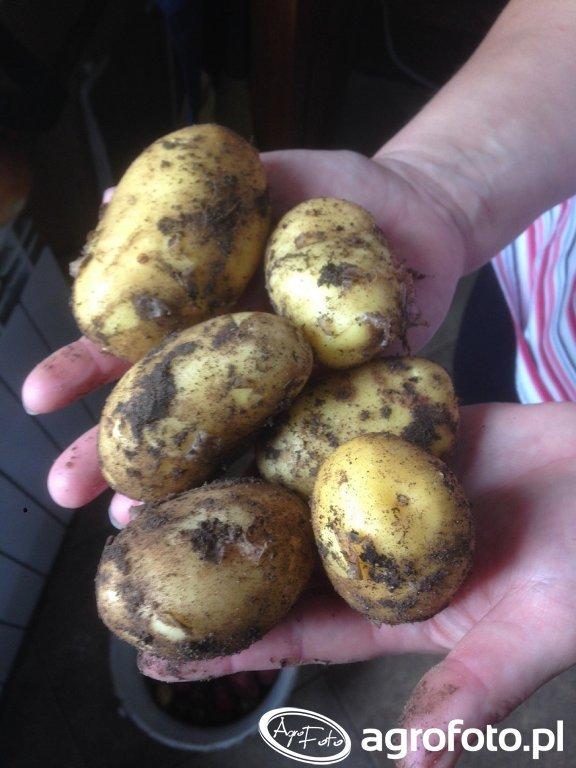 ziemniak marabel