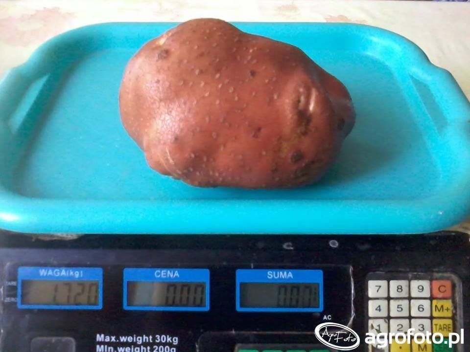 Ziemniak odmiana Bellarosa