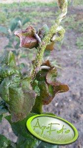 Mszyca jabłoniowa ( zielona )