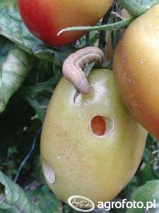 Piętnówka brukiewka