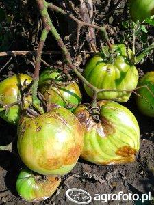 Zaraza ziemniaka (fitoftoroza)