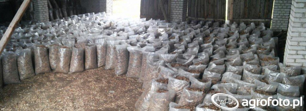 Biomasa z wierzby energetycznej