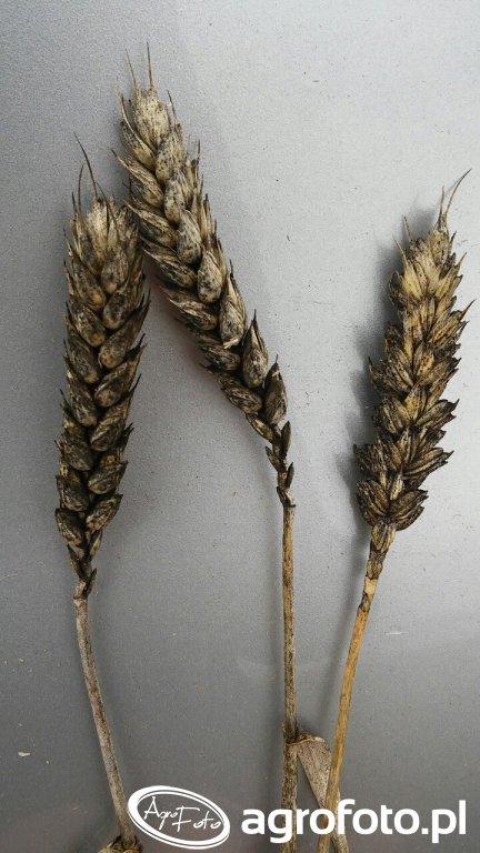Czernienie zbóż
