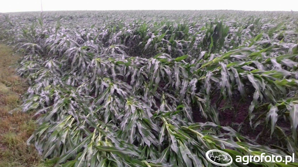 Kukurydza po ulewie