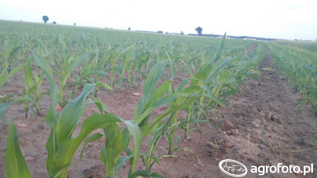 kukurydza smolitop