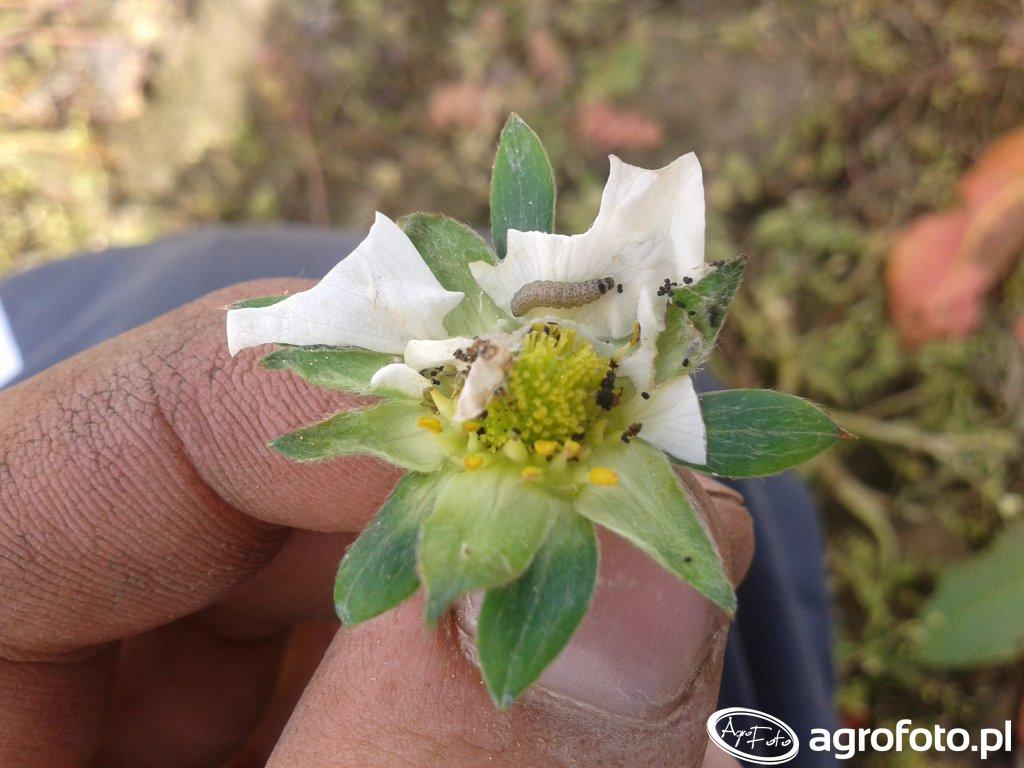 Kwiatek Truskawki