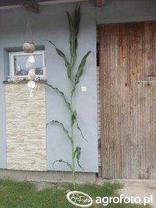 Kukurydza Podlasiak
