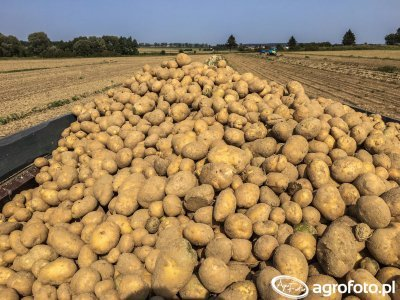 Ziemniaki lord 9.9.2017 wykopki